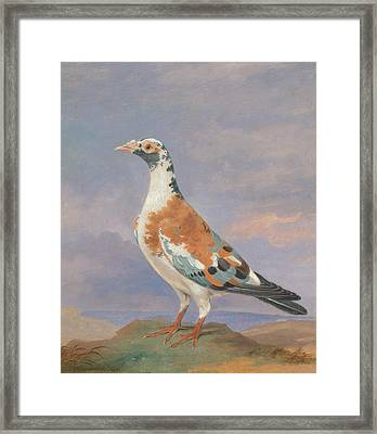 Studies Of Carrier Pigeon Framed Print