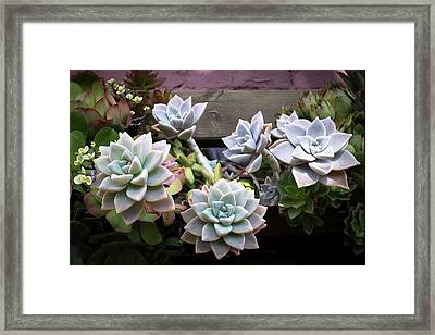 Framed Print featuring the photograph Succulents by Catherine Lau