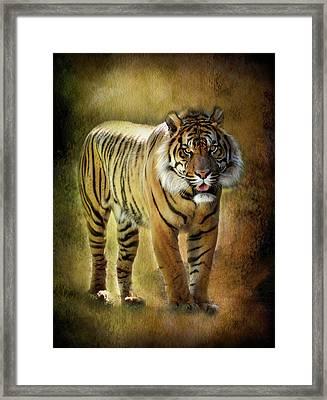 Sumatran Tiger  Framed Print by Saija  Lehtonen