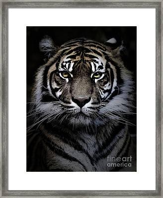 Sumatran Tiger Framed Print by Avalon Fine Art Photography