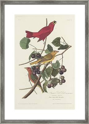 Summer Red Bird Framed Print by Rob Dreyer