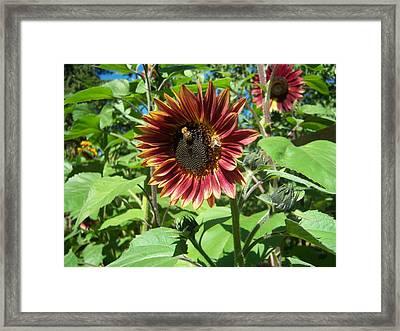 Sunflower 133 Framed Print by Ken Day