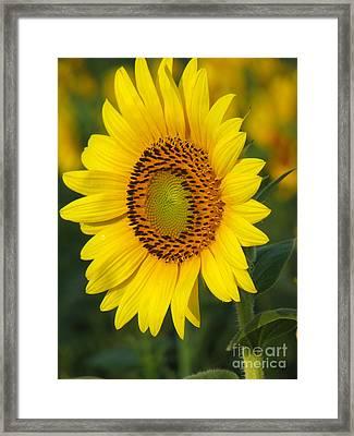 Sunflower Framed Print by Amanda Barcon