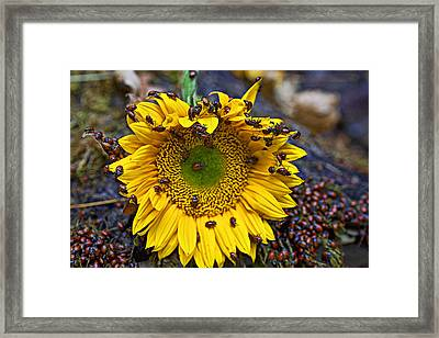 Sunflower Covered In Ladybugs Framed Print