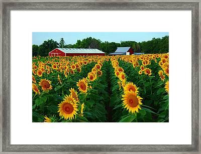 Sunflower Field #4 Framed Print