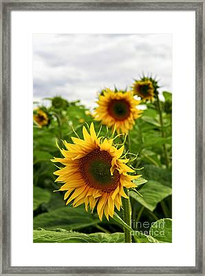 Sunflower Field Framed Print by Elena Elisseeva