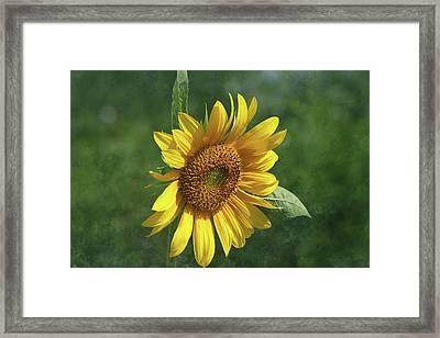 Sunflower In The Garden Framed Print by Kim Hojnacki