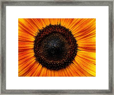 Sunflower Framed Print by Martin Morehead