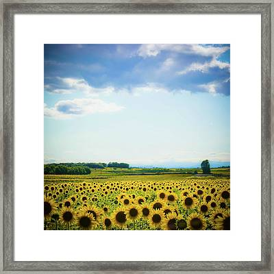 Sunflowers Framed Print by Kirstin Mckee
