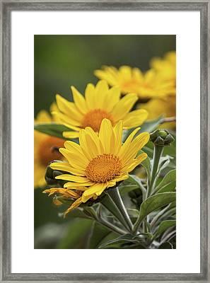 Framed Print featuring the photograph Sunflowers  by Saija Lehtonen