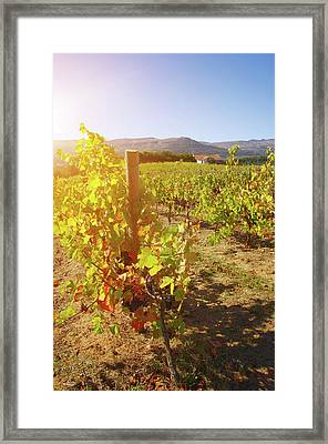 Sunny Vineyard Framed Print by Carlos Caetano