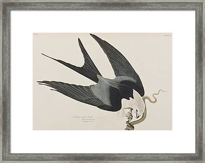 Swallow-tailed Hawk Framed Print by John James Audubon