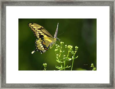 Framed Print featuring the photograph Elegant Swallowtail Butterfly by Christina Rollo