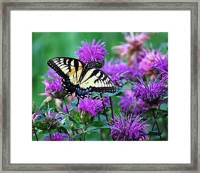 Swallowtail Butterfly  Framed Print