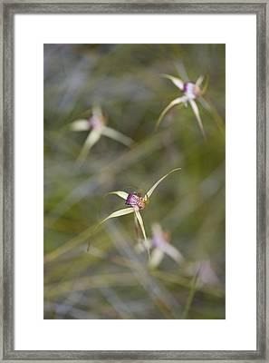 Swamp Spider Orchid, Caladenia Paludosa, Wildflower Orchidaceae Westen Australia Abstract Framed Print