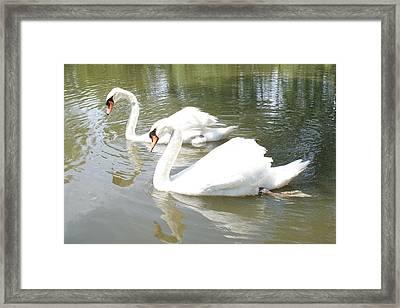 Swan Pair Framed Print by Geralyn Palmer