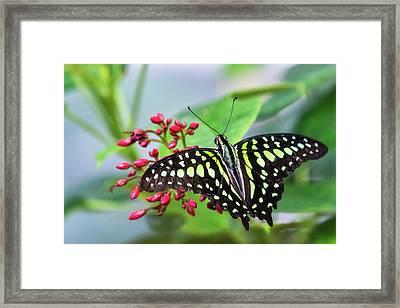 Framed Print featuring the photograph Tailed Green Jay Butterfly  by Saija Lehtonen