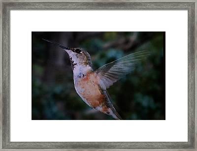 Tan Hummingbird Framed Print