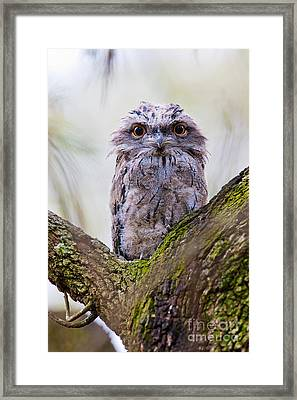 Tawny Frogmouth Framed Print