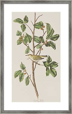 Tennessee Warbler Framed Print by John James Audubon