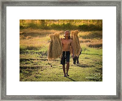 Thai Farmer Carrying The Rice On Shoulder After Harvest. Framed Print by Tosporn Preede