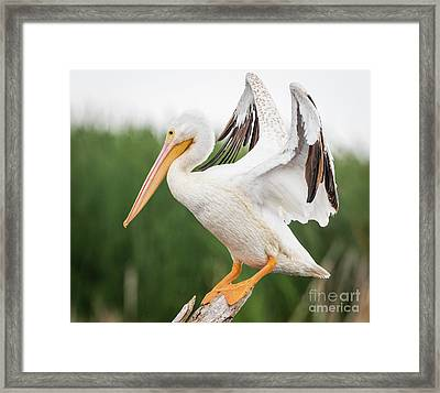 Framed Print featuring the photograph The Amazing American White Pelican  by Ricky L Jones