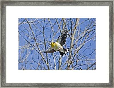 The American Goldfinch In-flight, Framed Print