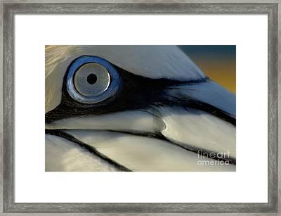 The Eye Of A Northern Gannet Framed Print by Sami Sarkis