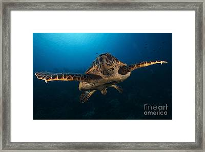The Hawksbill Sea Turtle, Bonaire Framed Print by Terry Moore