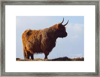 The Highland Cow Framed Print