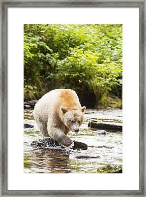 The Kermode Bear  Ursus Americanus Framed Print by Daisy Gilardini