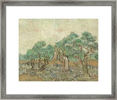 The Olive Orchard, 1889 Framed Print