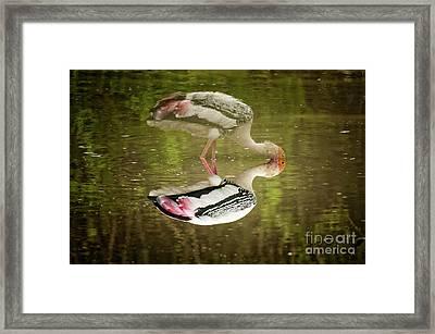 The Painted Stork  Mycteria Leucocephala  Framed Print by Venura Herath