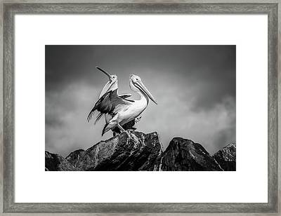The Pelicans Framed Print