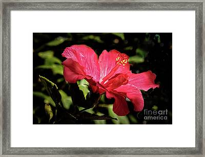 The Red Hibiscus Framed Print by Robert Bales