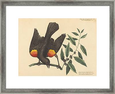 The Red Winged Starling - Oriolus Phoeniceus Framed Print