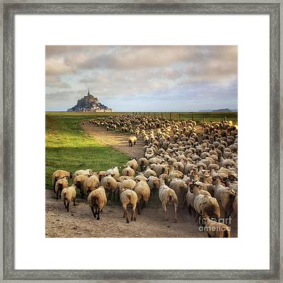 The Sheep Of Mont Saint Michel Framed Print