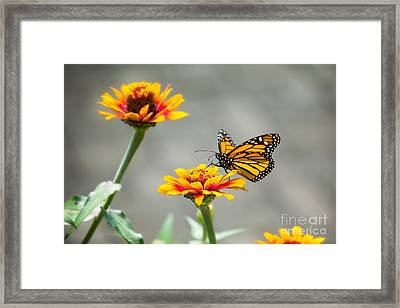 The Visiting Monarch Framed Print