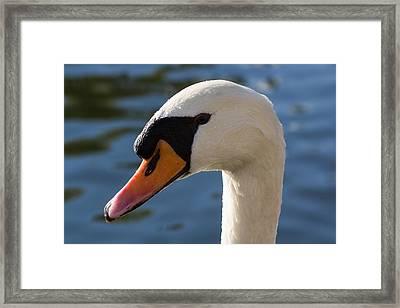 The Watchful Swan Framed Print by David Pyatt