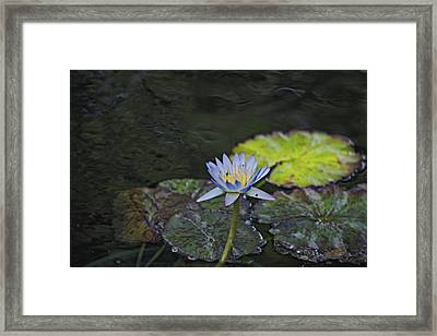 The Water Lily Framed Print by Cendrine Marrouat