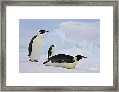 Three Emperor Penguins Framed Print by Jean-Louis Klein & Marie-Luce Hubert