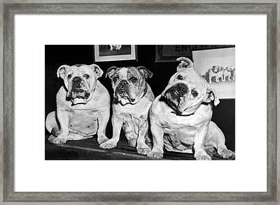 Three English Bulldogs Framed Print