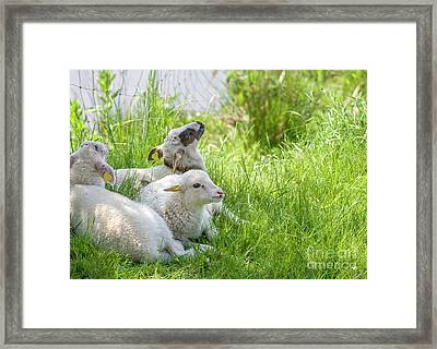 Framed Print featuring the photograph Three Little Lambs by Patricia Hofmeester