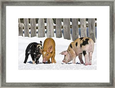Three Piglets Framed Print by Jean-Louis Klein & Marie-Luce Hubert