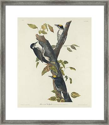 Three-toed Woodpecker Framed Print by Rob Dreyer