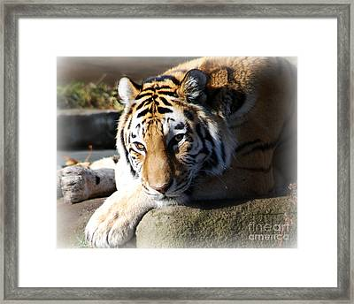 Framed Print featuring the photograph Tiger At Cleveland Zoo by Lila Fisher-Wenzel