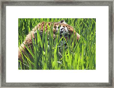 Tiger Framed Print by Naman Imagery