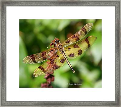 Tiger-striped Dragonfly Framed Print by Anne Babineau