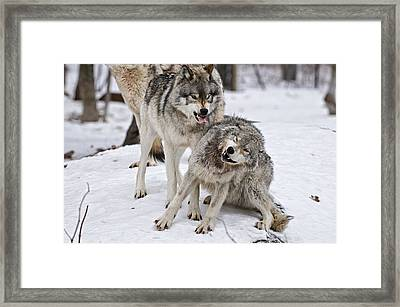 Timber Wolves In Winter Framed Print by Michael Cummings