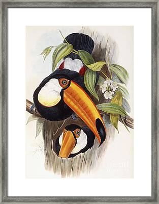 Toucan Framed Print by John Gould
